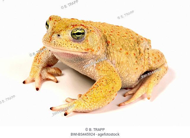 natterjack toad, natterjack, British toad (Bufo calamita), rare leucistic natterjack toad, Germany