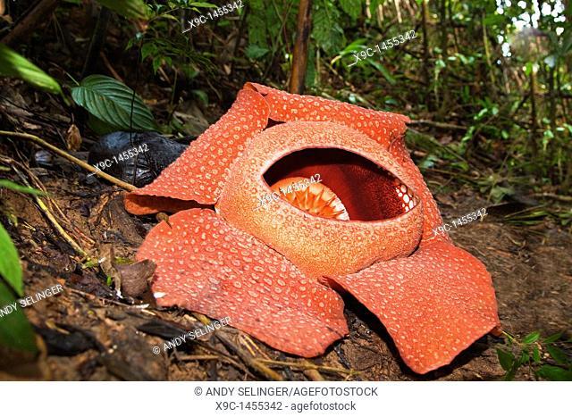 Rafflesia Flower  Rafflesia arnoldii