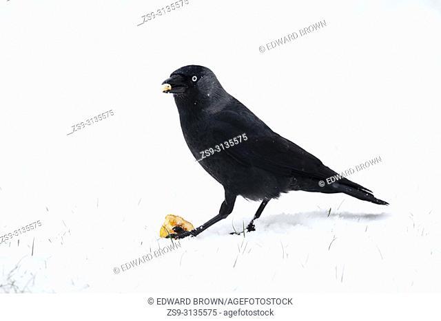 A Jackdaw (Corvus monedula) pecks at an apple after fresh snow fall, East Sussex, UK