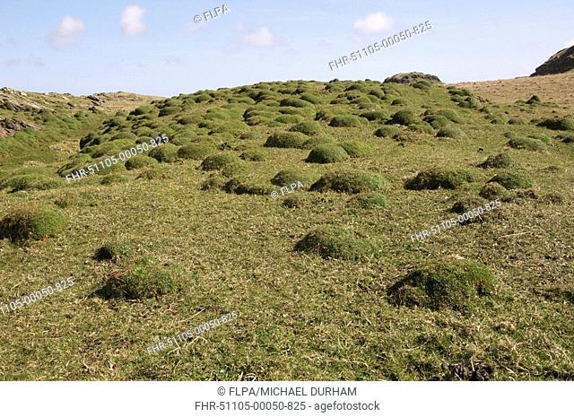 Thrift Armeria maritima domes in habitat, Saligo Bay, Islay, Inner Hebrides, Scotland, april