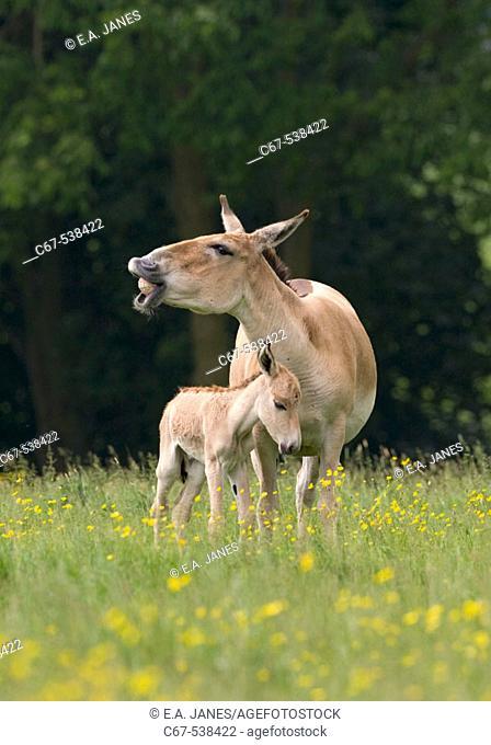 Onager & Foal (Equus hemionus)