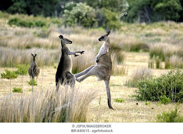 Eastern Grey Kangaroo (Macropus giganteus), adults fighting, Australia
