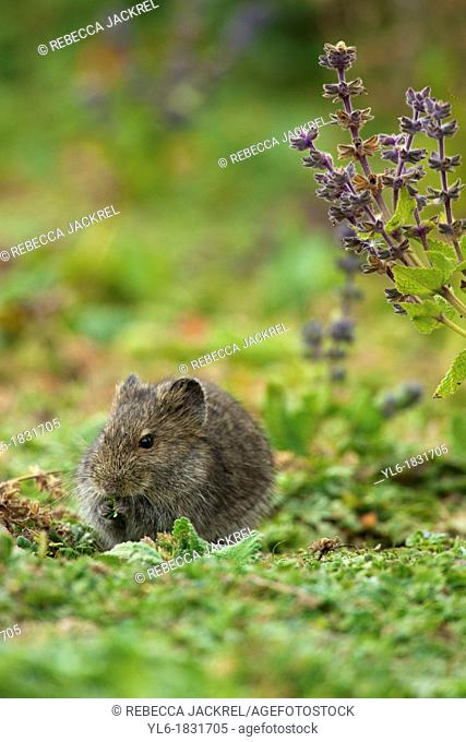 Extremely abundant in the Ethiopian highlands the Blick's grass rat is another staple of the Ethiopian wolfs diet