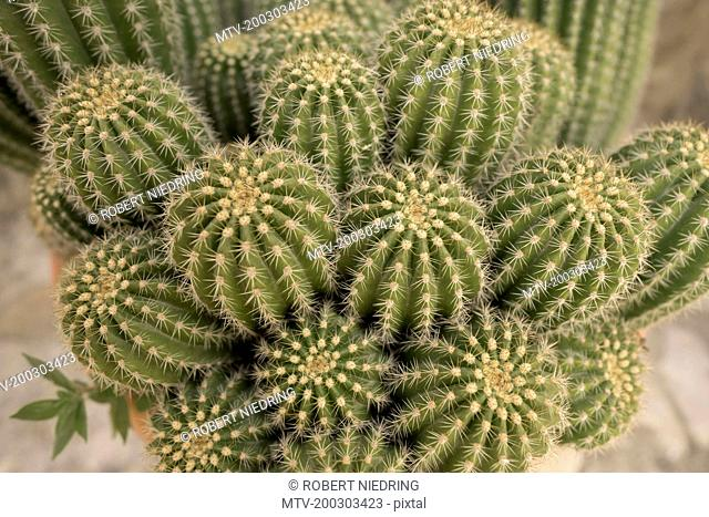 Close-up of cactus, Puglia, Italy