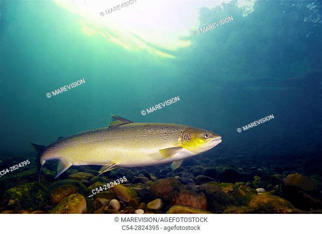 Freshwater Rivers. Atlantic Salmon (Salmo salar). Narcea river. Asturias. Spain