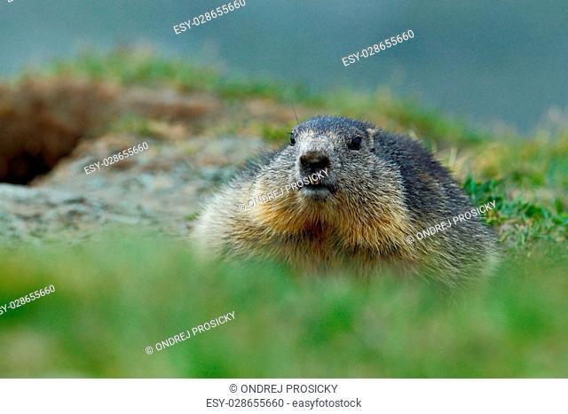 Cute fat animal Marmot, Marmota marmota, sitting in the grass
