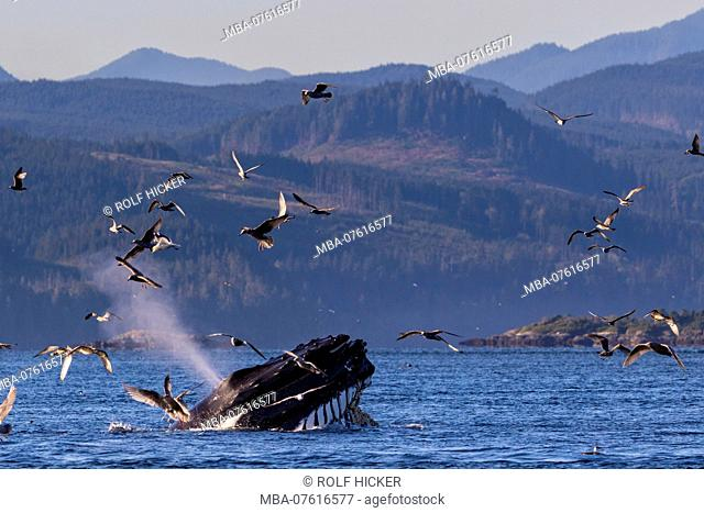 Humpback whale (Megaptera novaeangliae) lunge feeding with mouth wide open in Broughton Archipelago Provincial Marine Park off Vancouver Island
