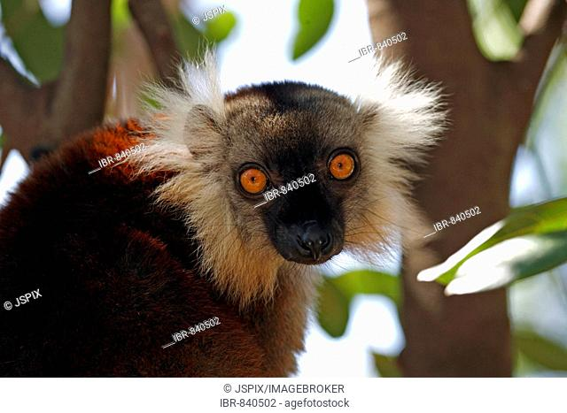 Black Lemur (Eulemur macaco), adult female in a tree, portrait, Nosy Komba, Madagascar, Africa
