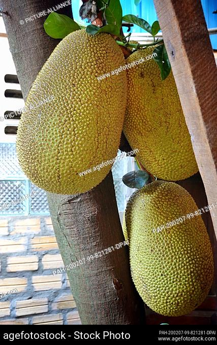 23 October 2019, Cambodia, Siem Reap: Jackfruit or breadfruit in the garden of a restaurant in Angkor. Photo: Soeren Stache/dpa-Zentralbild/ZB