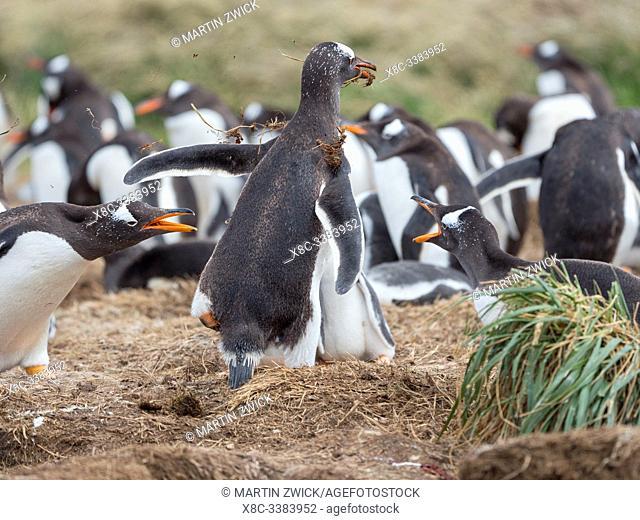 Collecting nesting material. Gentoo penguin (Pygoscelis papua) on the Falkland Islands. South America, January