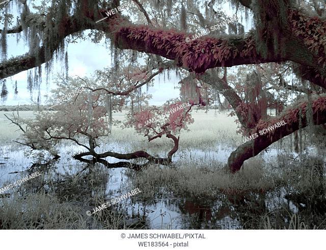 Scene at Myakka River State Park in Sarasota Florida taken as an Infrared red image with false colors