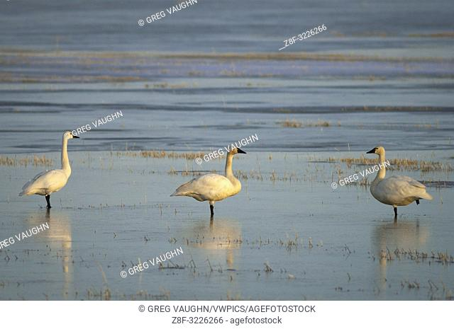 Tundra swans at Lower Klamath National Wildlife Refuge, on the Oregon-California border