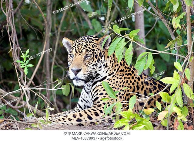 Jaguar (Panthera onca). Cuiaba River - Pantanal - Brazil