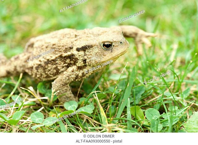 Toad crawling through grass