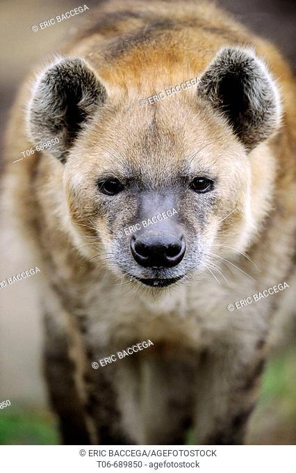 Portrait of a spotted hyaena (Crocuta crocuta)