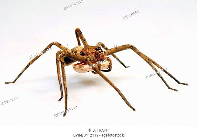 giant crab spiders, huntsman spiders, giant crab spider, cane spider  (Heteropoda venatoria), with cocoon, cut-out