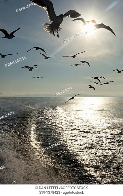 Seagulls, Hokkaido, Japan