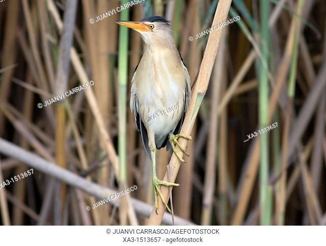Little Bittern, Ixobrychus minutus, perched on a reed, Valencia, Spain