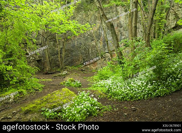 Wild Garlic (Allium ursinum) in flower in a dissused quary at Goblin Combe, North Somerset, England