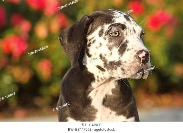 mixed breed dog (Canis lupus f. familiaris), ten weaks old Great Dane Perro de Presa Canario mixed breed whelp, portrait in front of dog roses, Germany