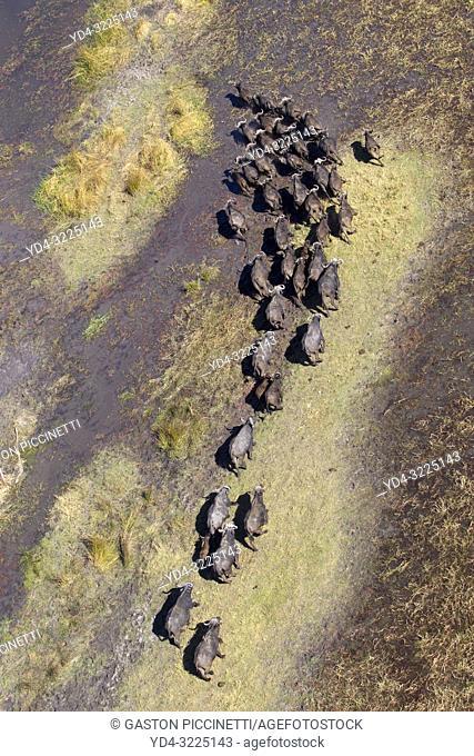 Aerial view of African buffalo or Cape buffalos group (Syncerus caffer), in the floodplain. Okawango Delta, Moremi Game Reserve, Botswana