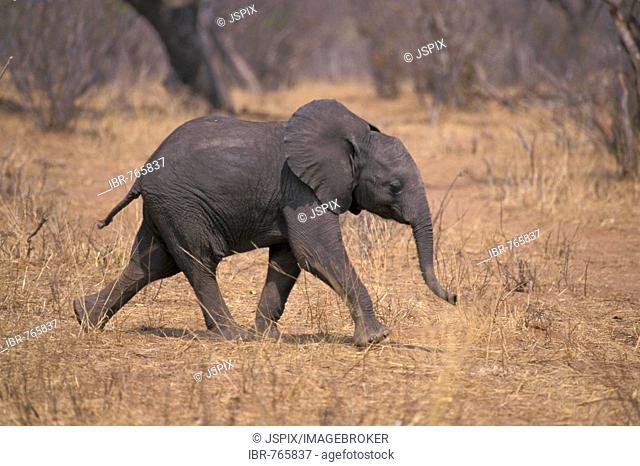African Bush or Savanna Elephant (Loxodonta africana), calf