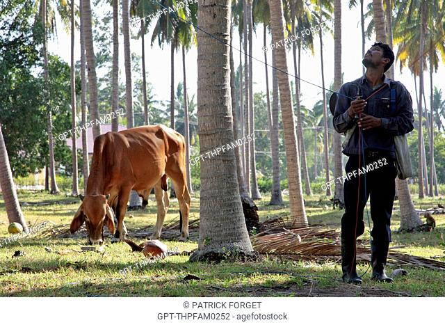 MAN HOLDING THE LEASH OF A MONKEY TRAINED TO CLIMB THE COCONUT TREES AND GATHER COCONUTS, BANG SAPHAN, THAILAND, ASIA