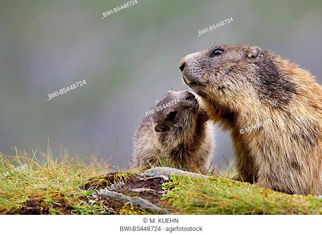 alpine marmot (Marmota marmota), with young animal, Austria