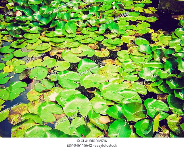 Vintage looking Water lily plants or Nimphaea in a pond