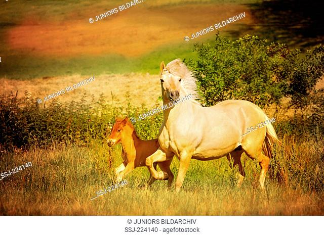 Icelandic Horse. Palomono breeding mare with chestnut foal trotting on a pasture. Germany