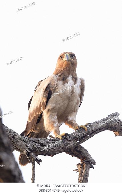 Africa, Southern Africa, South African Republic, Mala Mala game reserve, savannah, Tawny Eagle (Aquila rapax), white phase, perched on a branch