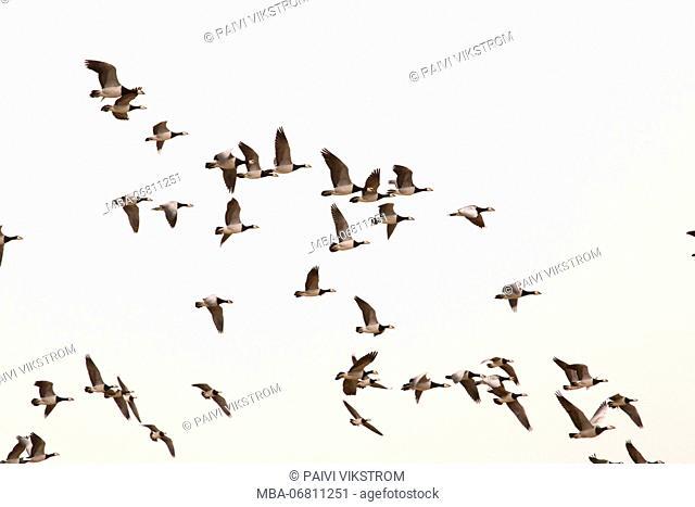 Migratory flock of birds, Barnacle goose