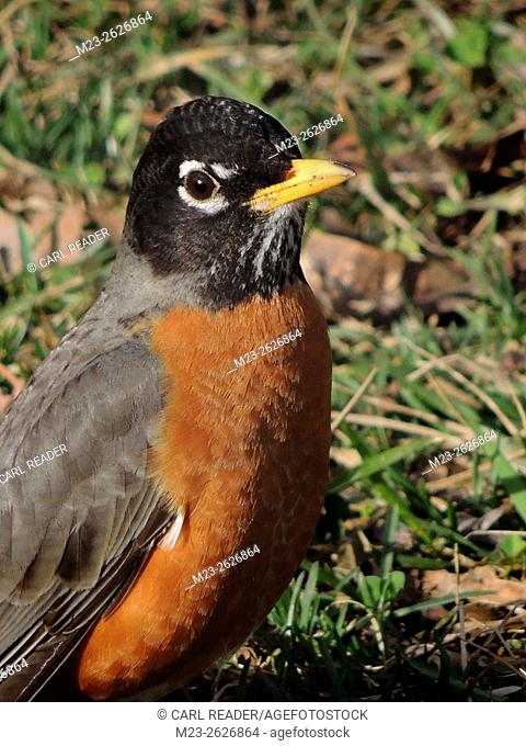 A male American robin, Turdus migratorius, takes a break from his work of finding worms, Pennsylvania, USA