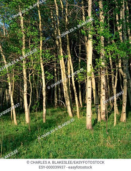 Summer Aspen trees. Afternoon in June. Targhee National Forest, Idaho. USA