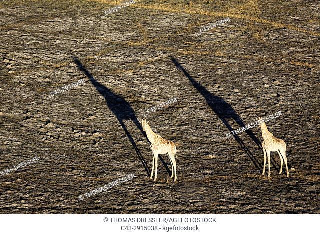 Southern Giraffe (Giraffa camelopardalis giraffa), two males in the late evening, aerial view, Okavango Delta, Moremi Game Reserve, Botswana