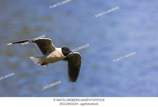 Little gull, Larus minutus flying over water, Norrbotten Sweden