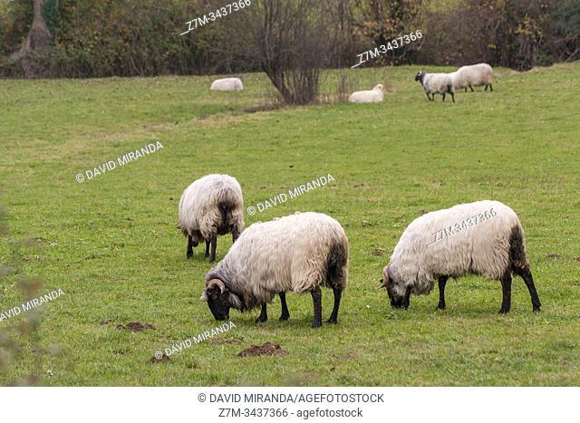 Sheep. Lezama. Álava. País Vasco. España
