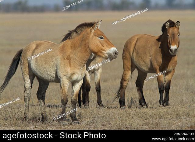 Herd of Przewalski horses in Askanian autumn steppe