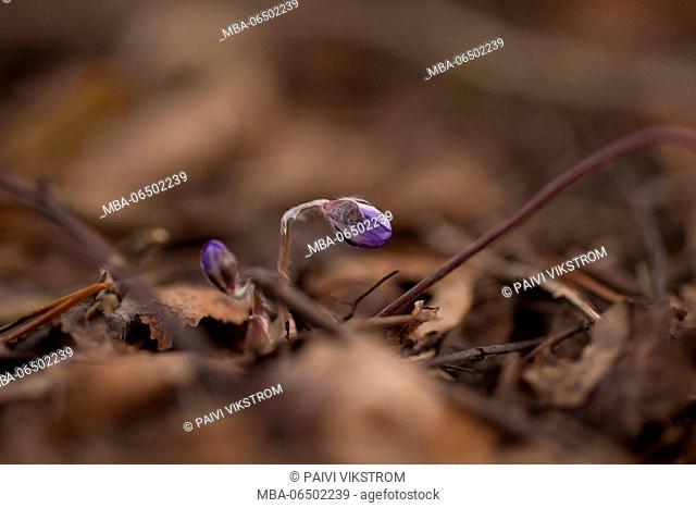 Hepatica flower bud, Hepatica nobelis in close-up