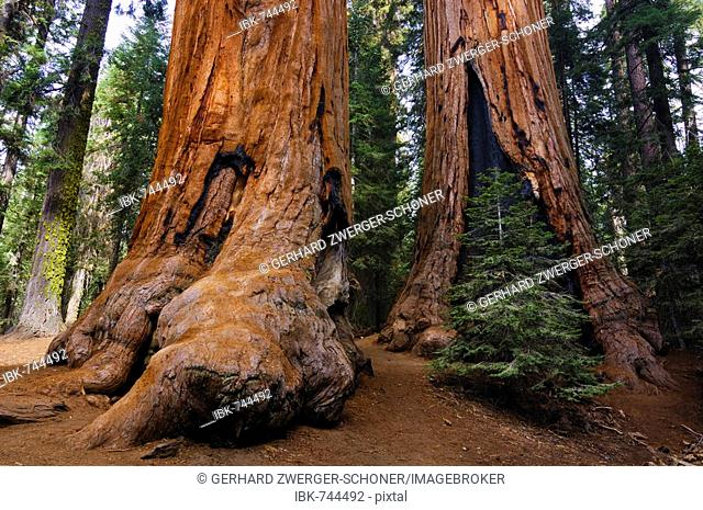 Giant Sequoias (Sequoiadendron giganteum), Sequoia National Park, California, USA