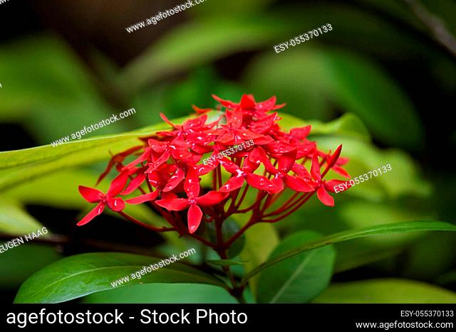 Small red flowers with rain drops and green leafs