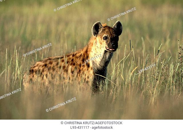 Spotted Hyena (Crocuta crocuta). Etosha National Park, Namibia
