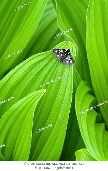 False helebore/ Corn Lily Veratrum viride