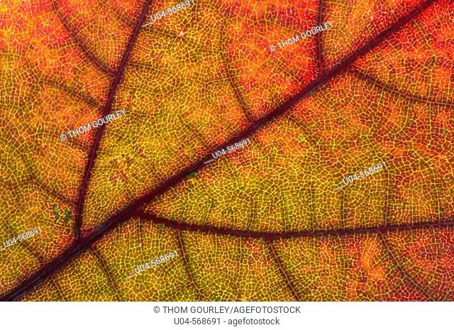 Macro of maple leaf in fall colors
