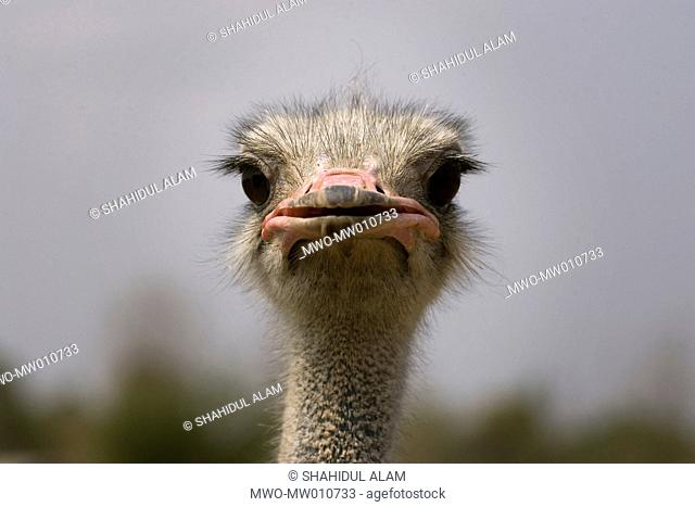 Head of ostrich at the farm in Phichit, belonging to famous politician Sanun Kajonprasat Thailand January 22, 2007