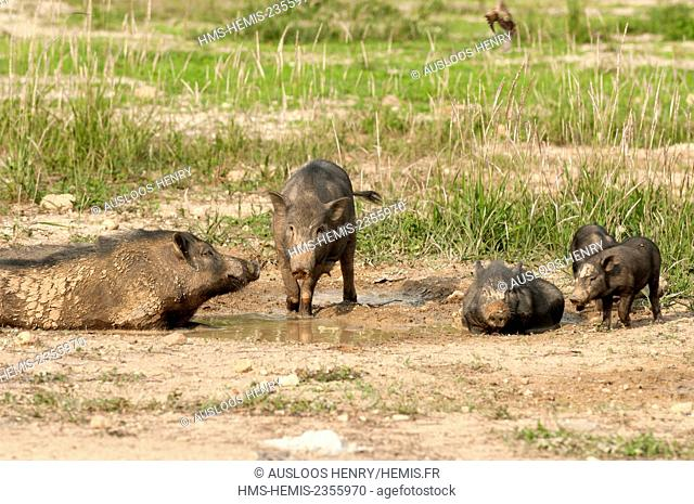 Thailand, Wild Boar (Sus scrofa), taking a mud bath