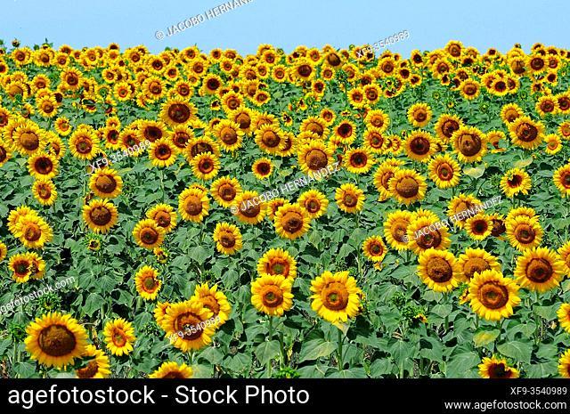 Sunflowers. Aljucén. Badajoz province. Extremadura. Spain