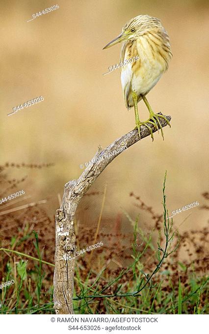 Squacco Heron (Ardeola ralloides), Doñana National Park. Huelva province, Andalucia, Spain