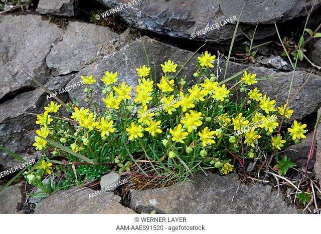 Saxifrage (Saxifraga petraea)