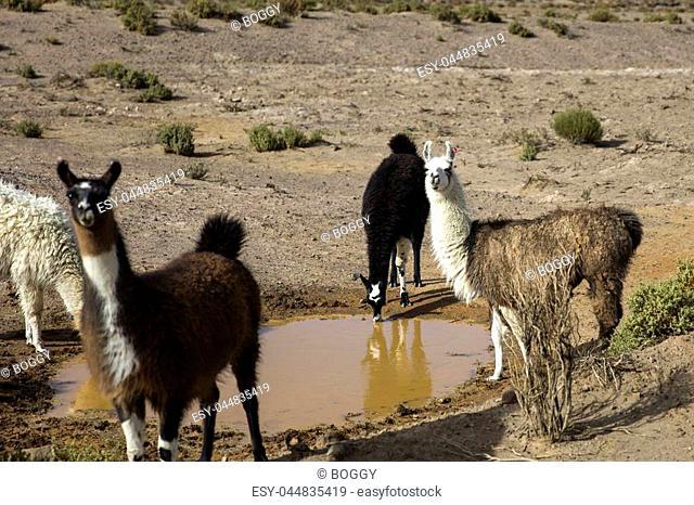 Lamas in Dali desert at Eduardo Avaroa Andean Fauna National Reserve in Bolivia